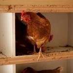 Le nostre galline ovaiole - Allevamenti bio Cascina Borgofrancone